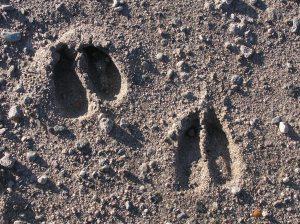 Empreinte d'animaux sauvages caractéristiques
