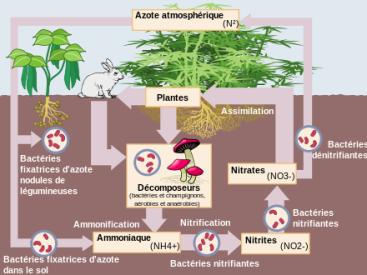 Cycle de l'Azote dans la Nature