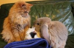 Chat, lapin et Cochon d'Inde